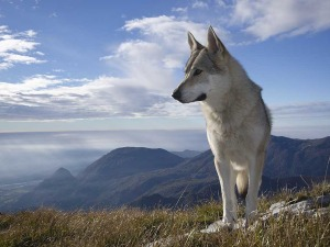 Is It Legal to Own a Wolf?